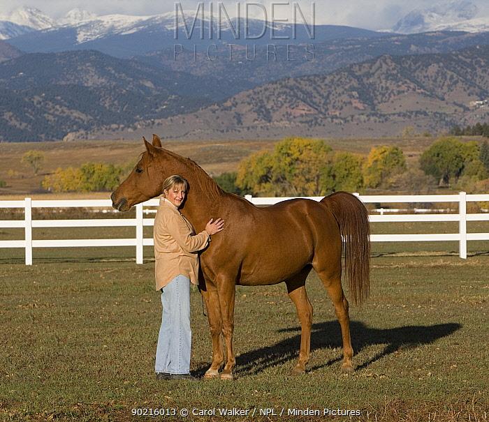 Woman handling chestnut Arabian gelding in field, Boulder, Colorado, USA  -  Carol Walker/ npl