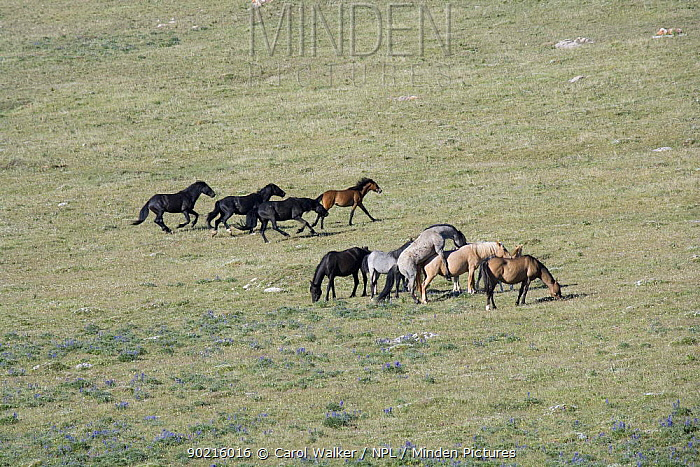 Three black bachelor stallions chasing a bay filly while blue roan stallion mates with palomino mare next to blue roan mare, bay mare, and palomino filly, Pryor Mountains, Montana, USA  -  Carol Walker/ npl