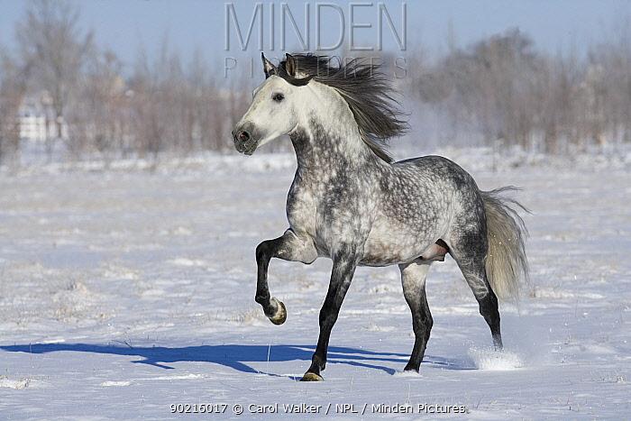 Grey andalusian stallion trotting in snow, Longmont, Colorado, USA  -  Carol Walker/ npl