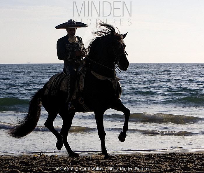 Silhouette of horseman in traditional dress riding black Andalusian stallion on beach, Ojai, California, USA  -  Carol Walker/ npl