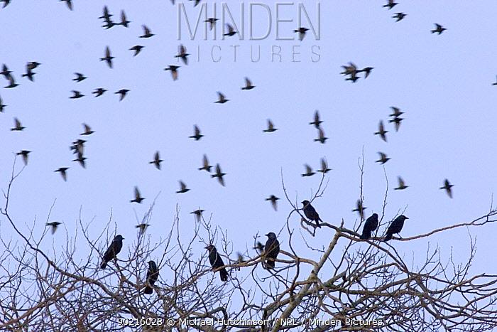Flock of Starlings (Sturnus vulgaris) at dusk beyond Jackdaws (Corvus monedula) roosting in tree top, Gloucestershire, UK  -  Michael Hutchinson/ npl