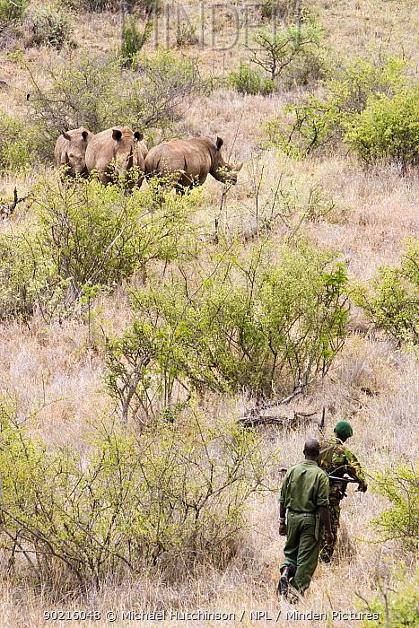 Game rangers approaching three White Rhinoceros (Ceratotherium simum) Lewa Downs, Kenya, 2006  -  Michael Hutchinson/ npl