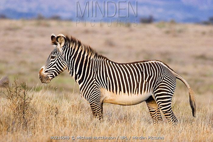Grevy's Zebra (Equus grevyi) standing in long grass, Lewa Downs, Kenya  -  Michael Hutchinson/ npl