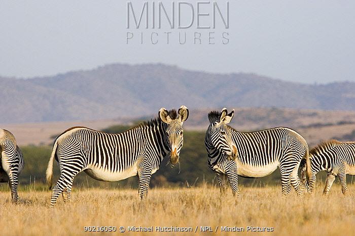 Grevy's Zebra (Equus grevyi) Lewa Downs, Kenya  -  Michael Hutchinson/ npl