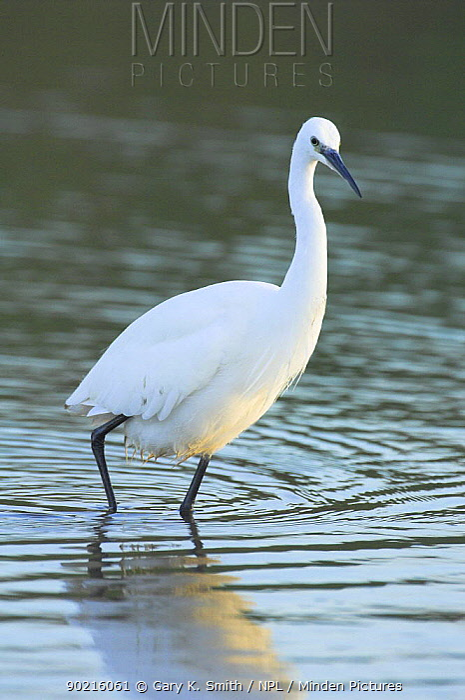 Little egret (Egretta garzetta) wading in water, Norfolk, UK,  -  Gary K. Smith/ npl
