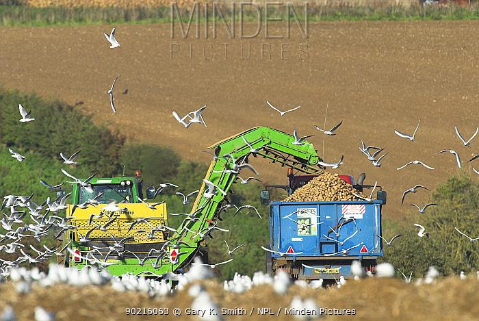 Black-headed gulls foraging around mechanised potato harvesting machine, Norfolk, UK  -  Gary K. Smith/ npl