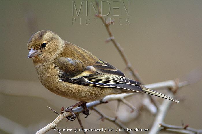 Female Chaffinch (Fringilla coelebs) Northumberland, UK  -  Roger Powell/ npl