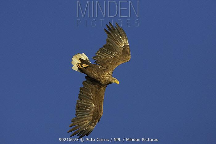Sea eagle (Haliaeetus albicilla) adult in flight, Flatanger, Norway  -  Pete Cairns/ npl