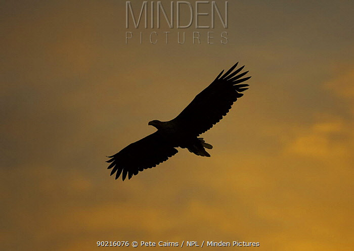 Sea eagle (Haliaeetus albicilla) adult in silhouette at sunset, Flatanger, Norway  -  Pete Cairns/ npl