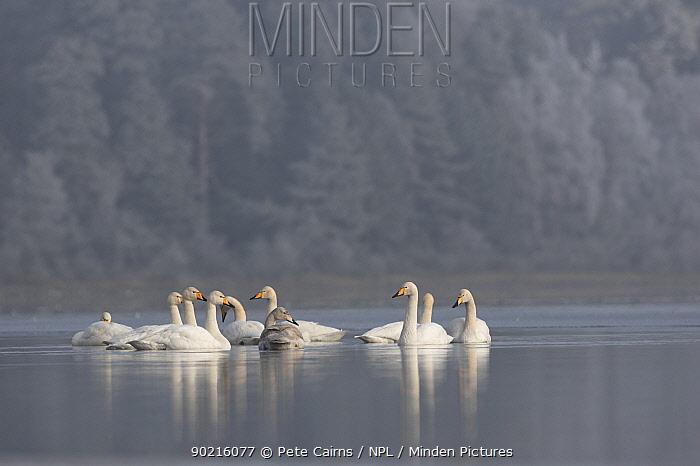 Whooper Swans (Cygnus cygnus) on Loch Insh on frosty winter morning, Cairngorms National Park, Scotland, UK  -  Pete Cairns/ npl