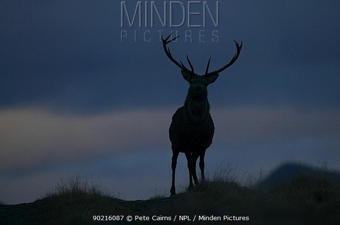 Red deer (Cervus elaphus) stag silhouetted on ridge at dusk, Alladale Wilderness Reserve, Highlands, Scotland, UK  -  Pete Cairns/ npl