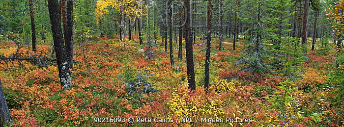 Semi-natural forest with rich shrub understorey including Blaeberry and Cowberry, Rendalen, Hedmark, Norway, 2005  -  Pete Cairns/ npl