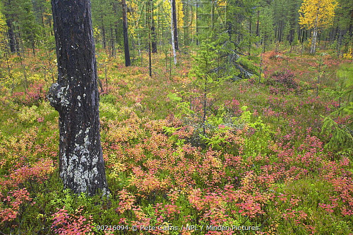 Rich autumnal colour on forest floor, Rendalen, Hedmark, Norway  -  Pete Cairns/ npl