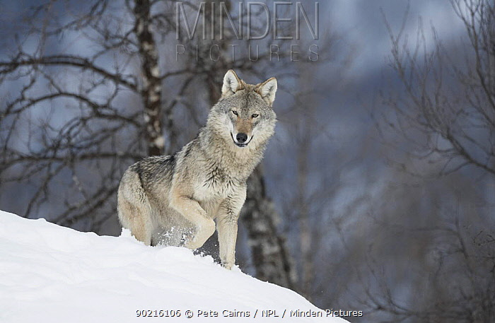 European Wolf (Canis lupis) adult female in boreal birch forest in winter, Bardu, Norway, captive  -  Pete Cairns/ npl