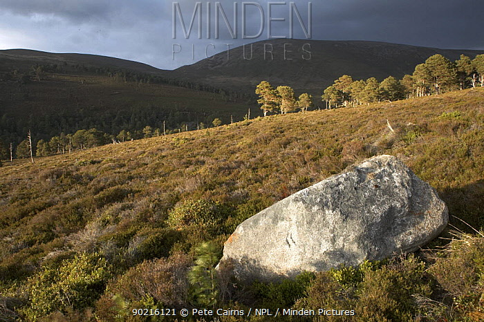 Heather moor and scattered pine forest in evening light, Glenfeshie, Cairngorms National Park, Scotland, UK 2006  -  Pete Cairns/ npl