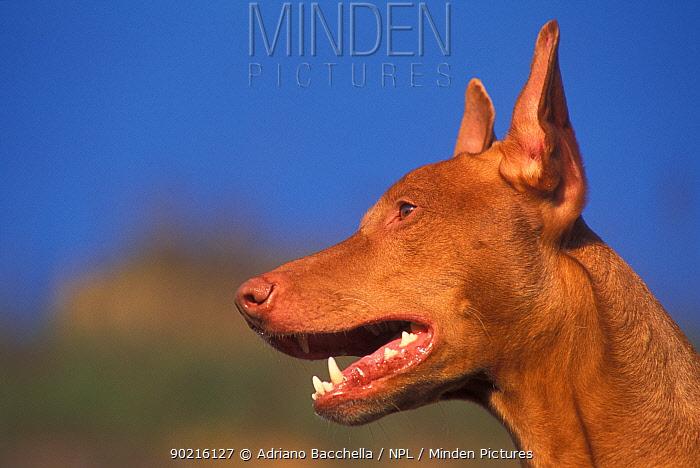 Domestic dog, Pharoah Hound head profile  -  Adriano Bacchella/ npl