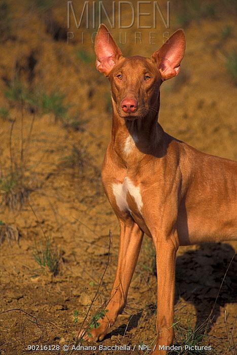 Domestic dog, Pharoah Hound portrait  -  Adriano Bacchella/ npl