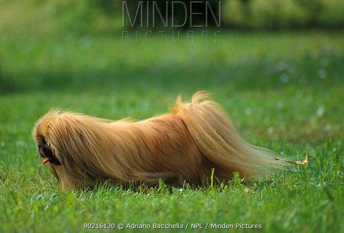 Domestic dog, Pekingese walking  -  Adriano Bacchella/ npl