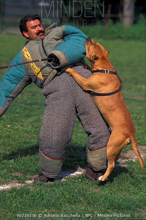 Domestic dog, Pit Bull terrier attacking person, wearing protective clothing, as part of training, USA The Pit Bull Terrier is a breed banned in many countries  -  Adriano Bacchella/ npl