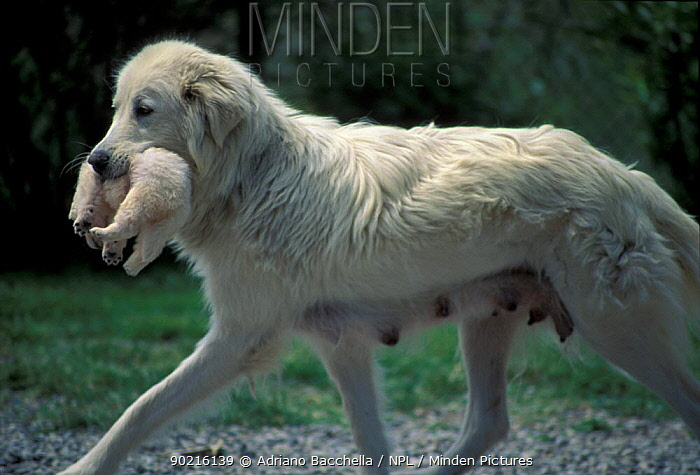 Domestic dog, Maremma Sheepdog mother carrying puppy in mouth  -  Adriano Bacchella/ npl