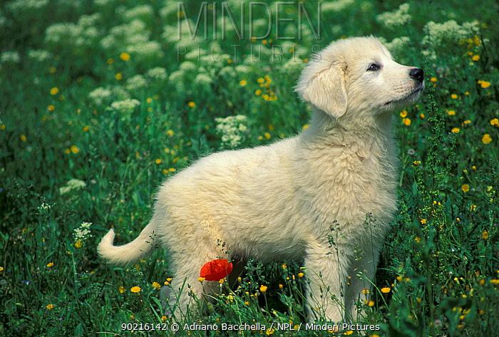 Domestic dog, Maremma Sheepdog puppy  -  Adriano Bacchella/ npl