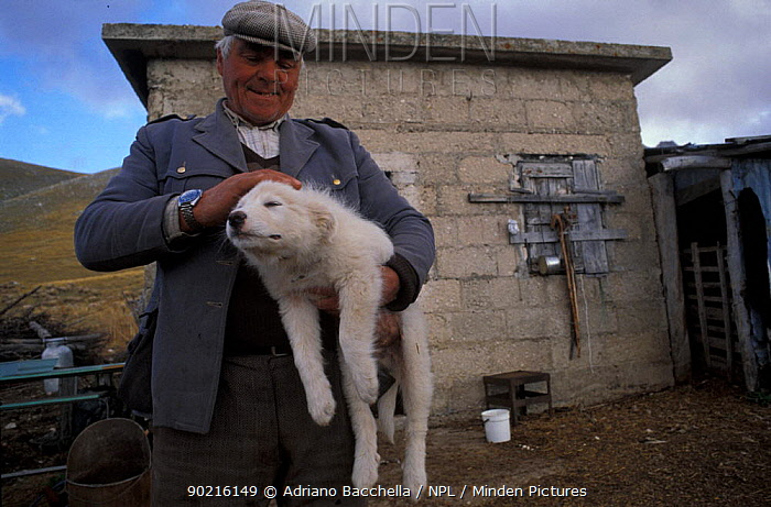 Domestic dog, Maremma Sheepdog puppy being carried and petted by owner  -  Adriano Bacchella/ npl