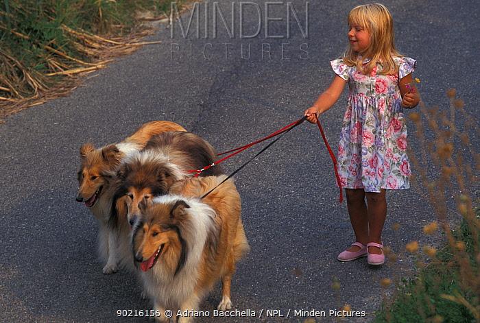 Girls taking three domestic dogs, Shetland Sheepdogs for a walk  -  Adriano Bacchella/ npl
