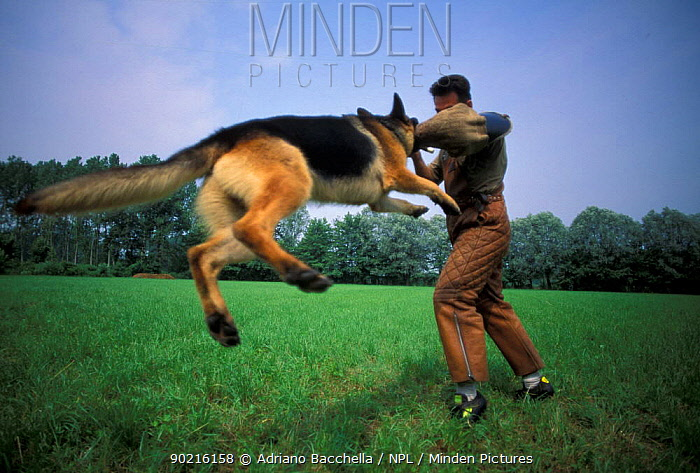 Domestic dog, Alsatian, German Shepherd in mid-air as it bites a man's arm in protective gear during training  -  Adriano Bacchella/ npl