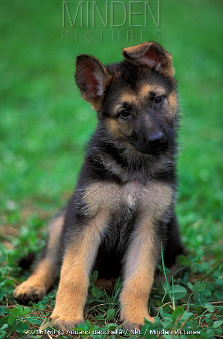 Domestic dog, Alsatian, German Shepherd puppy sitting and leaning to one side  -  Adriano Bacchella/ npl