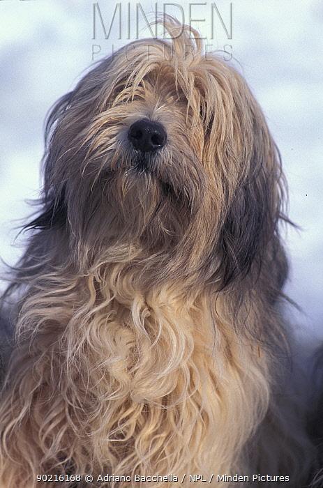 Domestic dog, Polish Lowland Sheepdog portrait  -  Adriano Bacchella/ npl