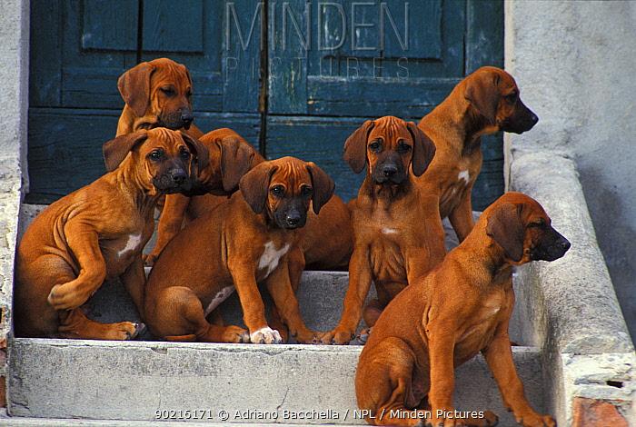 Domestic dogs, seven Rhodesian Ridgeback juveniles sitting on steps  -  Adriano Bacchella/ npl