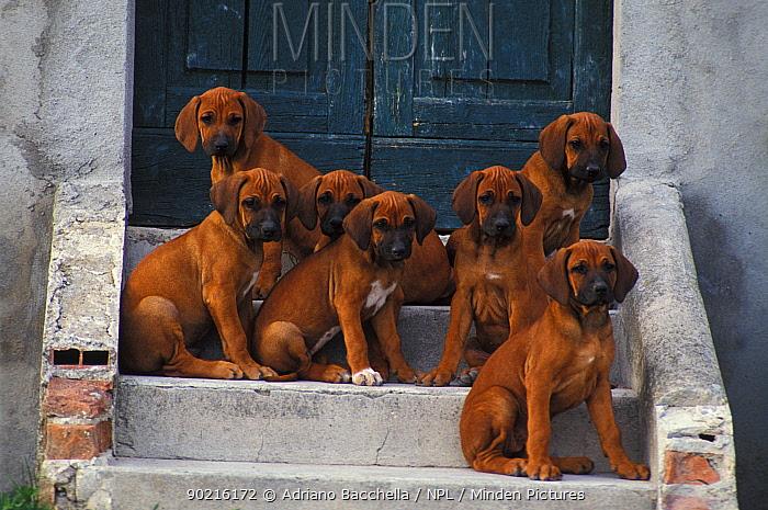 Domestic dogs, seven Rhodesian Ridgeback puppies sitting on steps  -  Adriano Bacchella/ npl