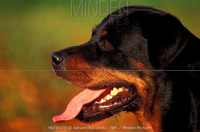 Domestic dog, Rottweiler profile  -  Adriano Bacchella/ npl