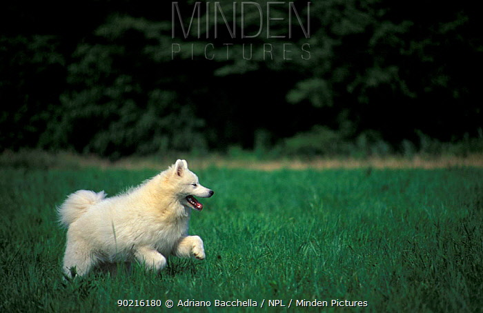 Domestic dog, Samoyed running in field  -  Adriano Bacchella/ npl