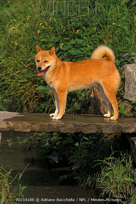 Domestic dog, Shiba Inu standing on a bridge  -  Adriano Bacchella/ npl