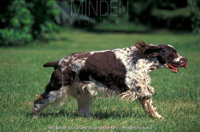 Domestic dog, English Springer Spaniel running  -  Adriano Bacchella/ npl