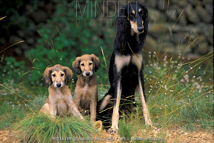 Domestic dog, Saluki sitting up with two puppies  -  Adriano Bacchella/ npl