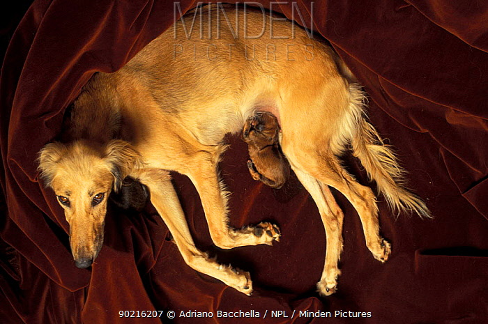Domestic dog, Saluki mother with two newborn puppies, one suckling, the other beneath her head  -  Adriano Bacchella/ npl