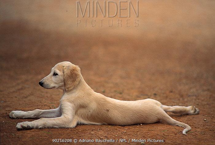 Domestic dog, young Saluki puppy lying down  -  Adriano Bacchella/ npl