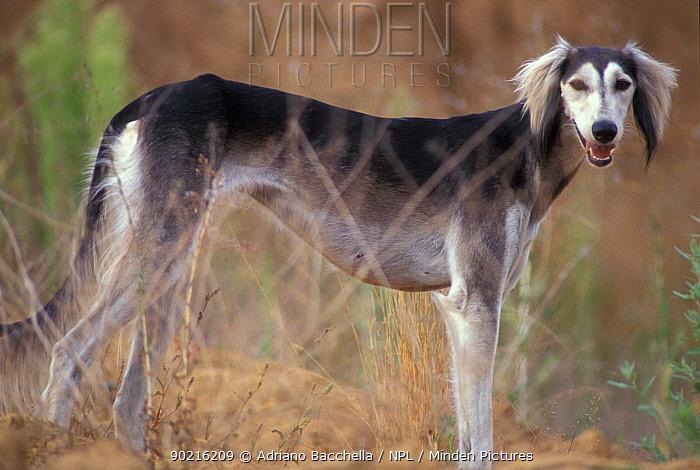 Domestic dog, Saluki portrait  -  Adriano Bacchella/ npl
