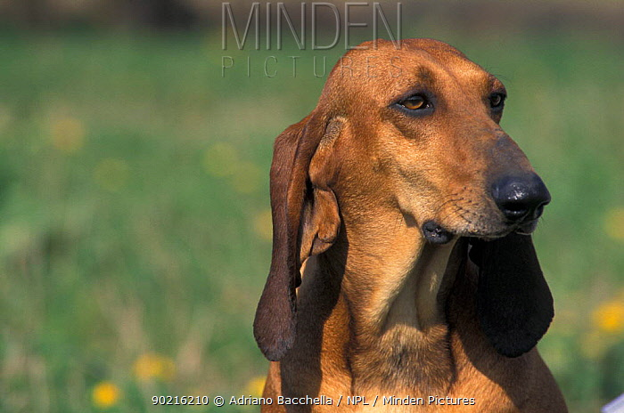 Domestic dog, smooth, short-haired Segugio Italiano hound portrait  -  Adriano Bacchella/ npl