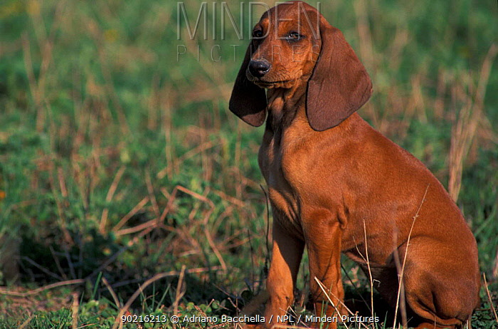Domestic dog, smooth, short-haired Segugio Italiano hound juvenile  -  Adriano Bacchella/ npl