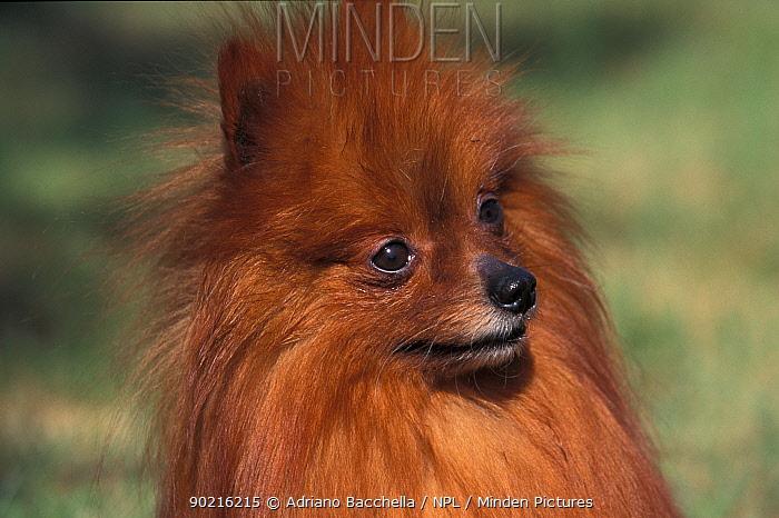 Domestic dog, German Spitz (Klein) portrait  -  Adriano Bacchella/ npl