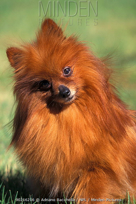 Domestic dog, Pomeranian with head cocked to one side  -  Adriano Bacchella/ npl