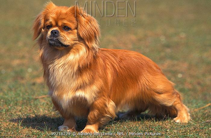 Domestic dog, alert Tibetan Spaniel portrait  -  Adriano Bacchella/ npl