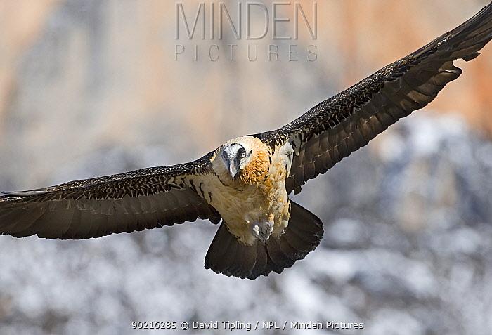 Lammergeier (Gypaetus barbatus) adult in flight Pyrenees, Spain, January  -  David Tipling/ npl