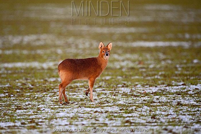 Chinese water deer (Hydropotes inermis) in snowy field Norfolk, UK, February  -  David Tipling/ npl