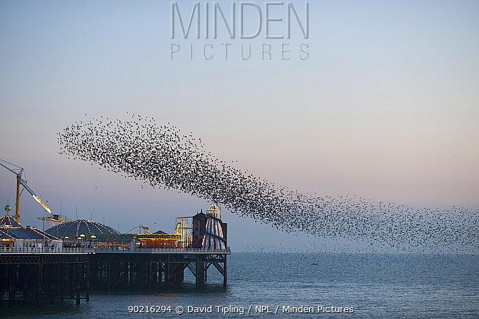 Flock of Common starlings (Sturnus vulgaris) arriving to roost at Palace Pier, Brighton UK, February 2010  -  David Tipling/ npl