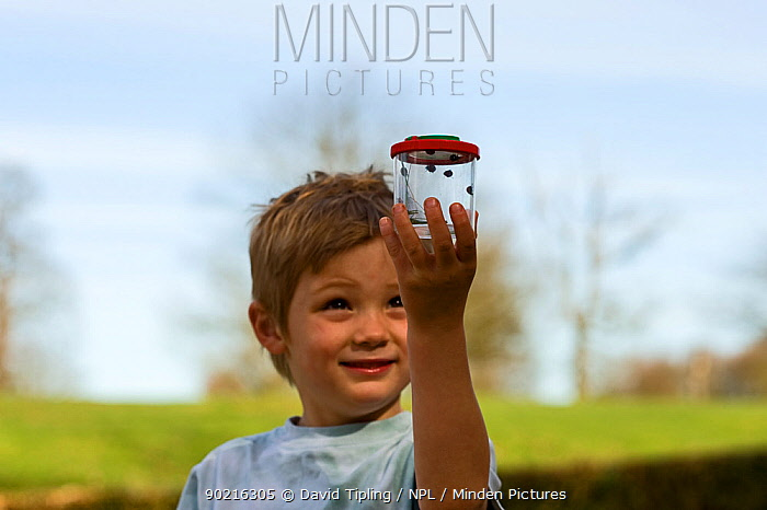 Young boy with ladybirds (Coccinelidae) in a bug box Norfolk, UK, April Model released  -  David Tipling/ npl