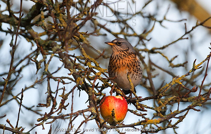 Fieldfare (turdus pilaris) feeding on an apple Martin Mere, UK, December  -  David Tipling/ npl